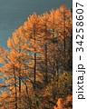 カラマツ 黄葉 本栖湖の写真 34258607