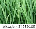 稲作 34259185