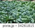 キャベツ 畑 野菜 34261815