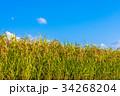 秋 稲 田んぼの写真 34268204