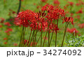彼岸花 曼珠沙華 剃刀花の写真 34274092