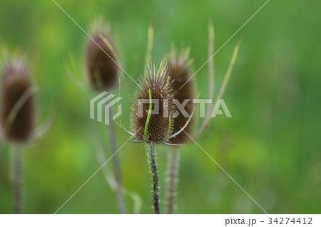 アメリカの野草 34274412