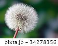 セイヨウタンポポ タンポポ タネの写真 34278356
