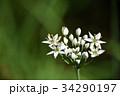 ニラの花 34290197