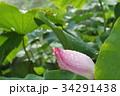 桃色 ハス 蓮の写真 34291438