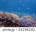 宮古島の珊瑚の海とデバスズメダイの群れ 34296282