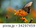 コスモス 花 蝶の写真 34297459
