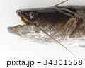 ナマズ(鯰) 肉食性の淡水魚 マナマズ、ニホンナマズ 日本に棲息する3種のうちの1種 34301568