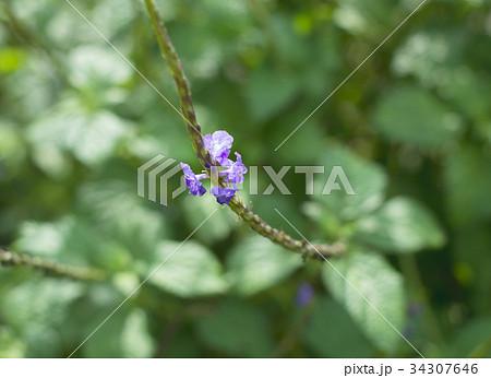 沖縄に咲く可憐な小さな紫の花 34307646