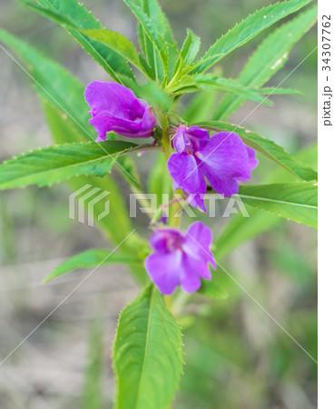 沖縄に咲く紫色の花 34307762