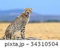 African cheetah, Masai Mara National Park 34310504