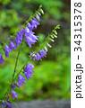 ハタザオギキョウ キキョウ科 帰化植物の写真 34315378