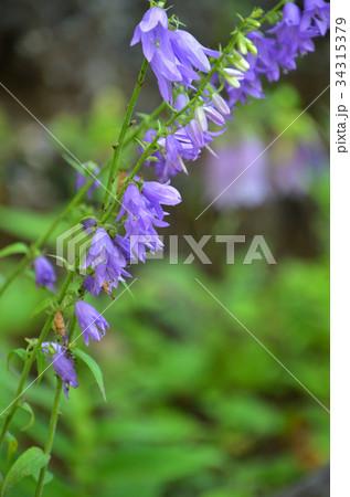 植物:ハタザオギキョウ キキョウ科 34315379