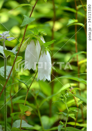 植物:ホタルブクロ キキョウ科 34315380