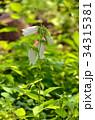ホタルブクロ キキョウ科 釣鐘状花の写真 34315381