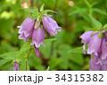 ヤマホタルブクロ キキョウ科 釣鐘状花の写真 34315382