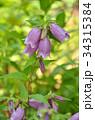 ヤマホタルブクロ キキョウ科 釣鐘状花の写真 34315384