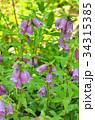 ヤマホタルブクロ キキョウ科 釣鐘状花の写真 34315385