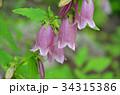 ヤマホタルブクロ キキョウ科 釣鐘状花の写真 34315386