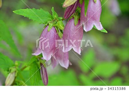 植物:ヤマホタルブクロ キキョウ科 34315386