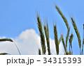 ライムギ イネ科 クロムギの写真 34315393
