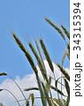 ライムギ イネ科 クロムギの写真 34315394