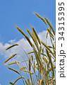 ライムギ イネ科 クロムギの写真 34315395