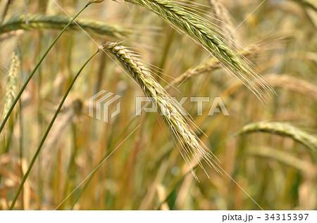 植物:ライムギ イネ科 34315397