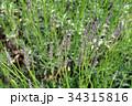 ラベンダー・ラバンジングロッソ シソ科 花穂の写真 34315816