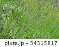 ラベンダー・ラバンジングロッソ シソ科 花穂の写真 34315817