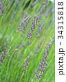 ラベンダー・ラバンジングロッソ シソ科 花穂の写真 34315818