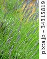 ラベンダー・ラバンジングロッソ シソ科 花穂の写真 34315819