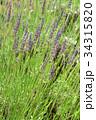 ラベンダー・ラバンジングロッソ シソ科 花穂の写真 34315820