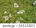 セイヨウノコギリソウ キク科 コモンヤローの写真 34315821