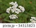 セイヨウノコギリソウ キク科 コモンヤローの写真 34315823