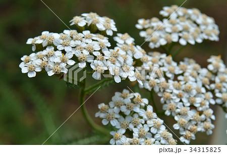 植物:セイヨウノコギリソウ キク科 34315825