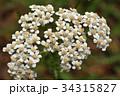 セイヨウノコギリソウ キク科 コモンヤローの写真 34315827
