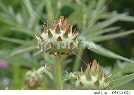 植物:カルドン キク科 34315830