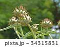カルドン キク科 薬用植物の写真 34315831