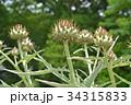 カルドン キク科 薬用植物の写真 34315833