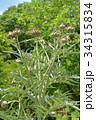 カルドン キク科 薬用植物の写真 34315834