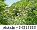 カルドン キク科 薬用植物の写真 34315835