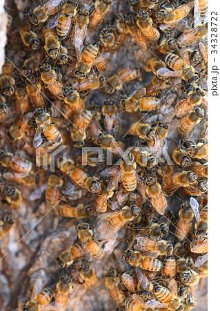 生き物 昆虫 ニホンミツバチ、茶色みが強いタイプですね。夏の終わり、そろそろ分蜂でしょうか 34328722