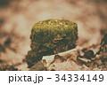 こけ コケ 苔の写真 34334149