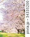 桜 春 染井吉野の写真 34335200