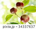 椿 実り 実の写真 34337637