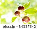 椿 実り 実の写真 34337642