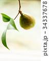 椿 実り 実の写真 34337678