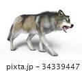狼 イヌ科 動物のイラスト 34339447