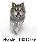 狼 イヌ科 動物のイラスト 34339449